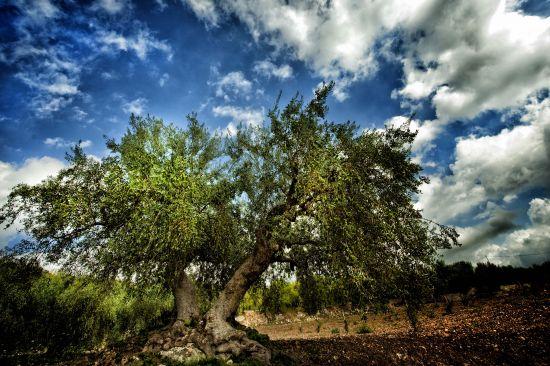Sicilia – Isola dell'olivo